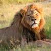Cecil Toy Created in Memory of Murdered Lion