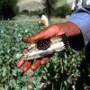 Afghan Opium Crop Cultivation Declines – UN Survey