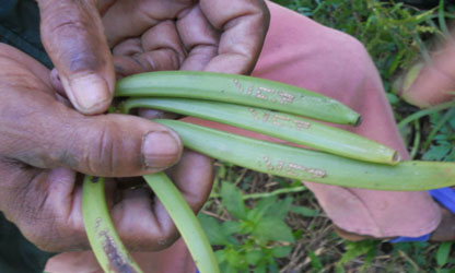 Helping Vanilla Farmers Increase Yields in Madagascar