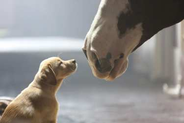 Budweiser's Puppy Love for Super Bowl