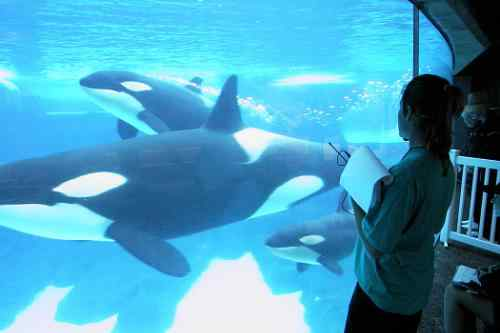 Scientists Study Killer Whales' Ability to Learn New Dialects