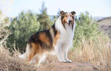 Save the Children Gets Lassie as First Animal Ambassador