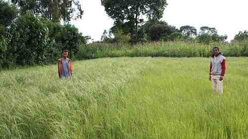 Potash demonstration plot in teff crop at Lekemt, Oromia region, Ethiopia. Left side: with potash application; right side: without potash application. Photo: Eldad Sokolowski, Agronomist, ICL Fertilizers