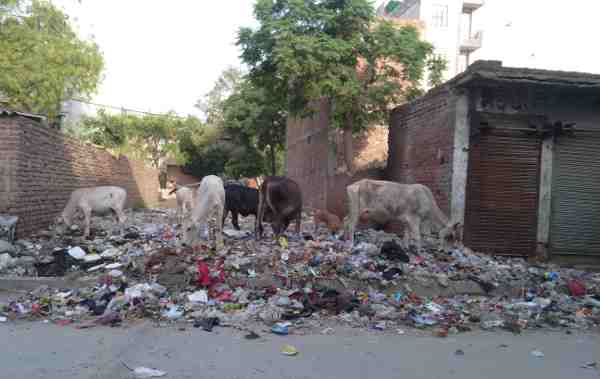Although Hindus worship a cow as their mother, here starving cows are eating even the trash which will make them sick.