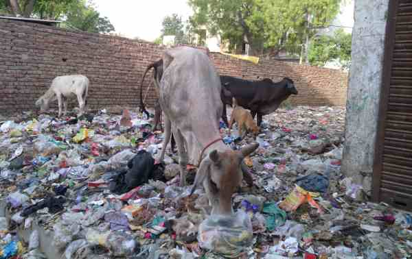 Stray cattle grazing on an open site full of rubbish near a housing colony.