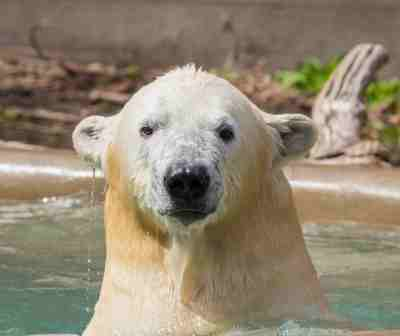 "Polar bear ""Kali"" at Buffalo Zoo on April 30, 2015. Credit Kelly Ann Brown / Buffalo Zoo"