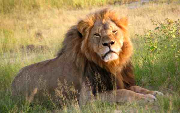 Cecil at Hwange National Park in 2010. Courtesy: Wikipedia