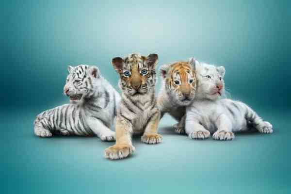 Four Tiger Cubs Make Public Debut