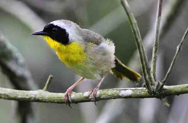 Common Yellowthroat at Bayou Teche National Wildlife Refuge, Louisiana | Credit: John Flores, 2010 Photo Contest Entry