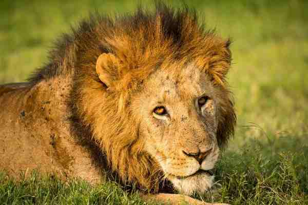 Trade in Lion Body Parts Threatens Lion Populations