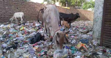 Starved cows eating household hazardous waste near a housing colony of New Delhi in India. Scenes like these are common in the national capital. India has become a stinking hell because of massive bureaucratic and political corruption. Photo: Rakesh Raman / RMN News Service