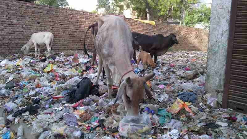 Starved cows eating household hazardous waste near a housing colony of Delhi in India. Photo: Rakesh Raman