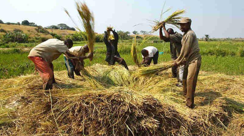 Farmers beat rice to release grains near the village of Kamangu, Democratic Republic of the Congo. Photo: FAO / Olivier Asselin