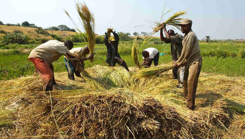 Farmers beat rice to release grains near the village of Kamangu, Democratic Republic of the Congo. Photo: FAO / Olivier Asselin