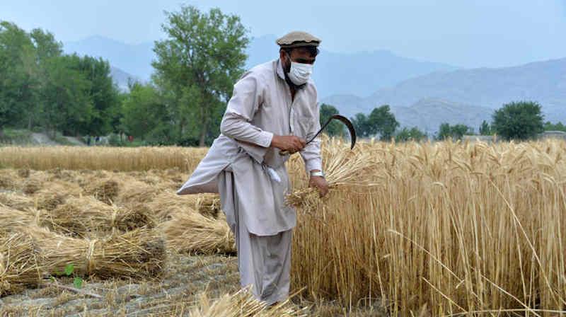 An Afghan farmer harvests his wheat in the Kuz Kunar district of Nangarhar, Afghanistan. Photo: FAO