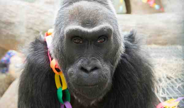 How the Oldest Living Gorilla Celebrates Her 58th Birthday