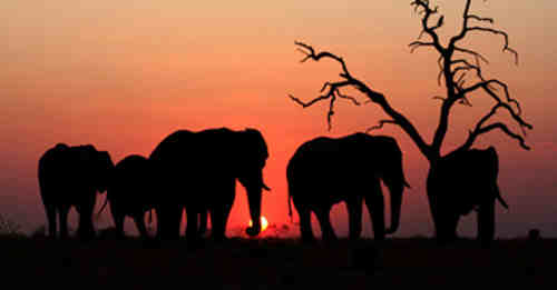African Elephants Continue to Face Serious Threats