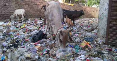Cows grazing at a dirty dumping site surrounded by residential houses. Scenes like this are common in New Delhi and India. Photo: Rakesh Raman