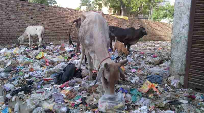 Starved cows eating household hazardous waste near a housing colony of Delhi. Dirty scenes like this are common in the national capital.