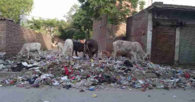 Starved cows eating household hazardous waste near a housing colony of New Delhi in India. Scenes like this are common in the national capital. Photo: Rakesh Raman