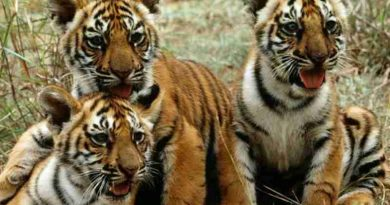 UN Photo/John Isaac. Tiger cubs in Mysore, India. UNEP is actively involved in working with Governments, scientists, private organizations and other concerned groups to preserve and protect this endangered species.